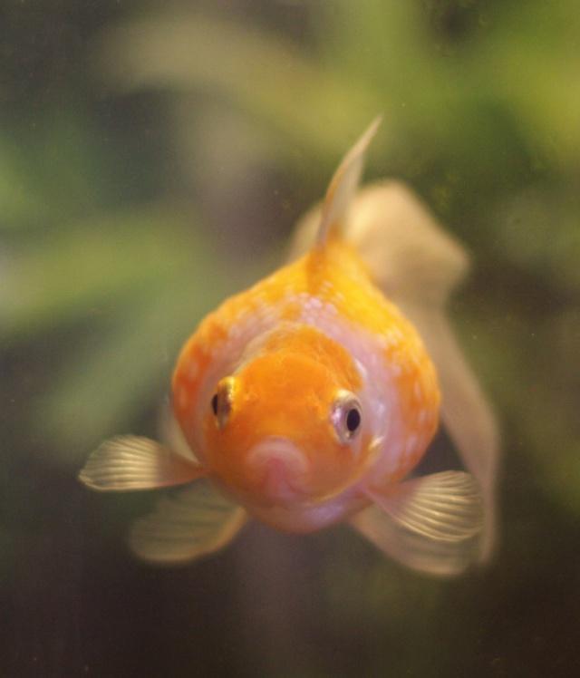 Aquarium pour poisson rouge for Nitrite aquarium poisson rouge