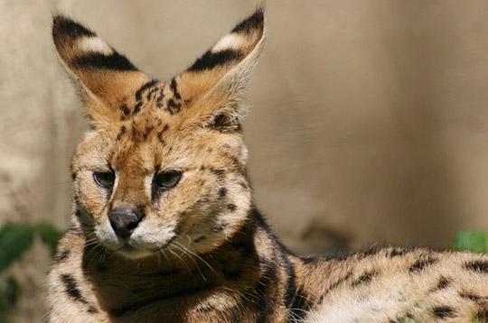 Animaux tranges - Felin de la savane ...