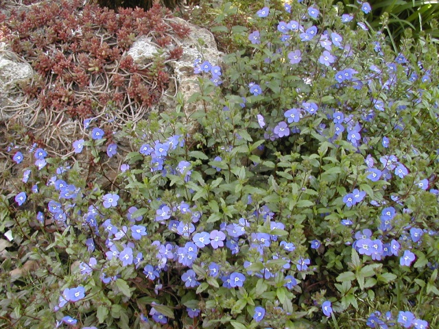 Plantes vivaces couvre sol Page 5 Au jardin, forum de jardinage # Plantes De Sous Bois Liste