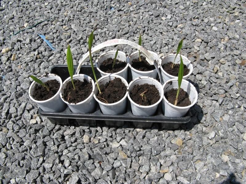 le forum des fous de palmiers suivi de mes germination de graines de palmier. Black Bedroom Furniture Sets. Home Design Ideas