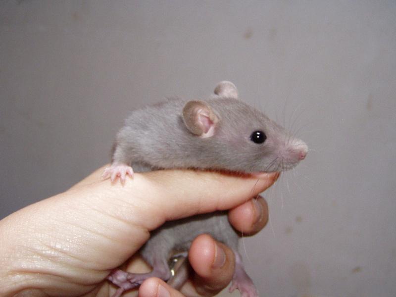 rats_315.jpg