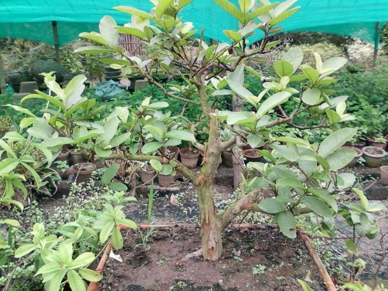 guava_10.jpg