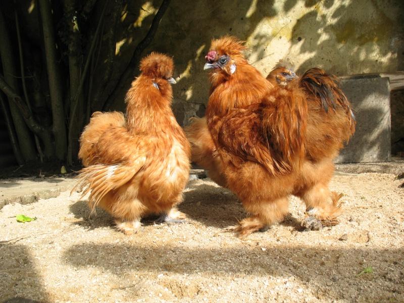 poule soie fauve