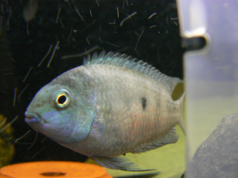 White Convict Cichlid pair
