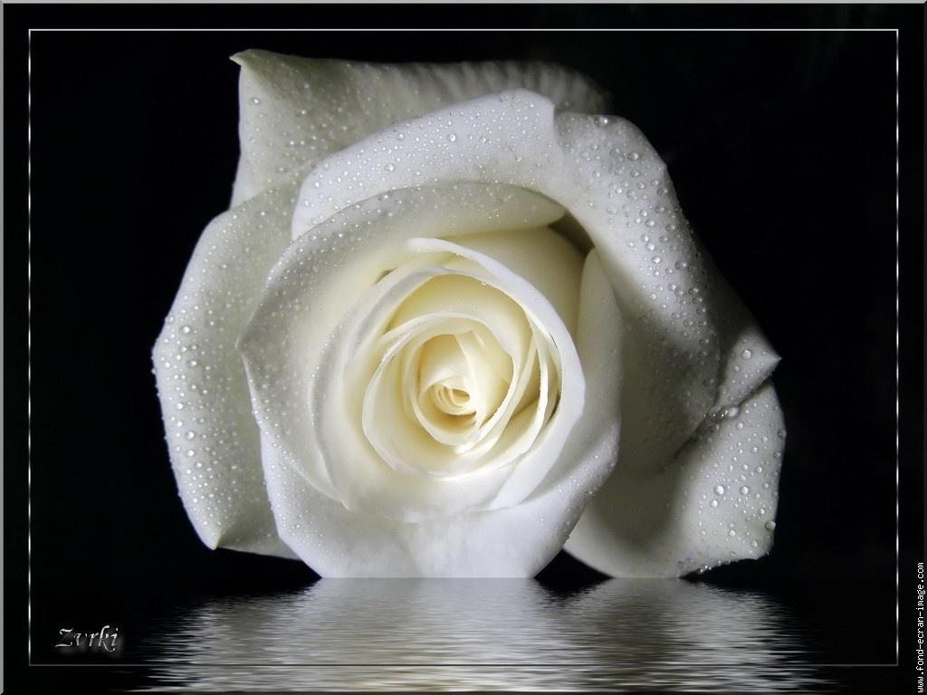 صور ورود بيضاء,ورود بيضاء,ورود بيضاء جميلة