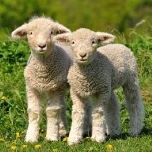 lamb-r10.jpg