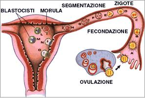 Ovulazione fecondazione e impianto immagini - Sensazione di bagnato prima del ciclo o gravidanza ...